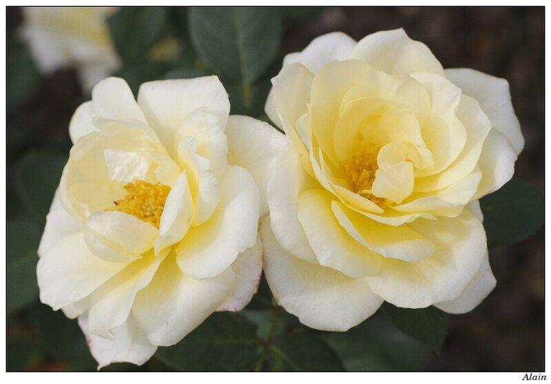 rose au rozentuin