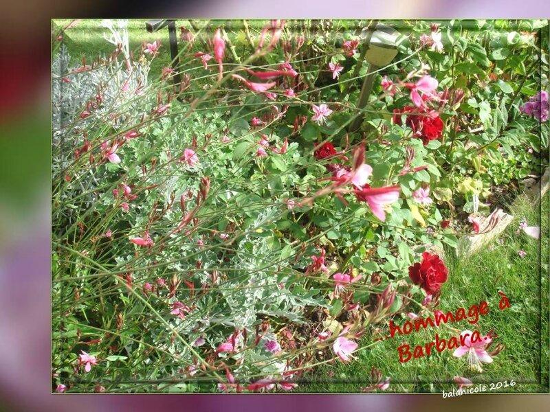 balanicole_2016_11_les nouveaux rosiers de balanicole_B comme Hommage à Barbara_13