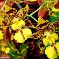 oncidium tigré haut en couleur