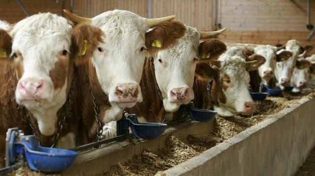 elevage-vache-viande_510651