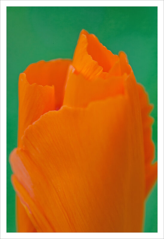 SM pavot calif orange fond vert 170319