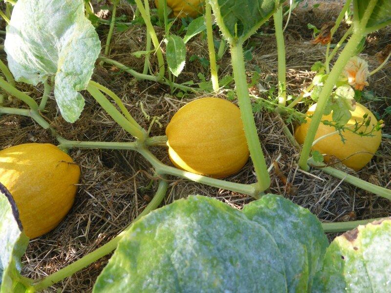 21-courges melonette jaspée de vendée (1)