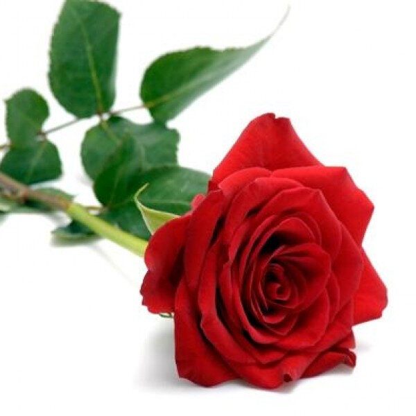0000350_single-red-rose-600x600