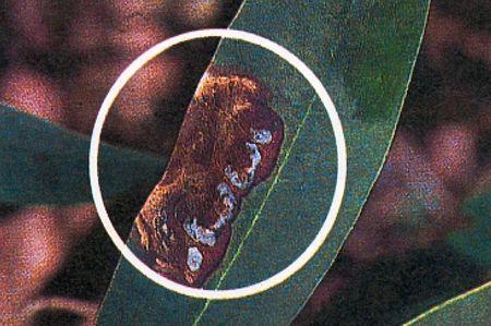 pestalozzia-du-Rhododendron