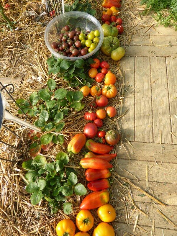 30-tomates du jour (5)