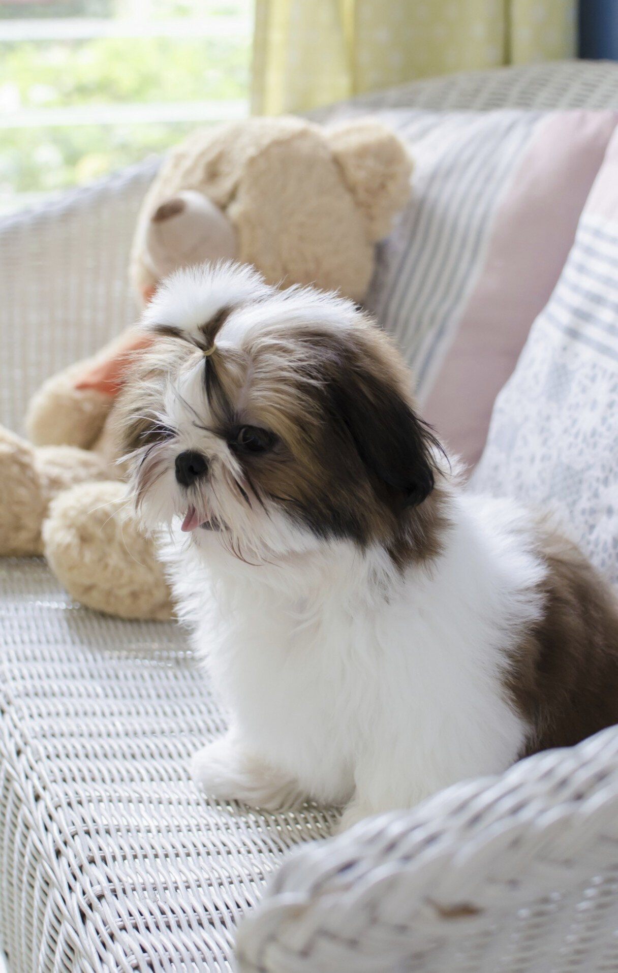 CHIEN_CHIOT_ SHIH TZU_A_VENDRE_A_ADOPTER_PARTICULIER__ELEVAGE_ELEVEUR_11_34_30_aude_narbonne_ HERAULT_GARD_MONTPELLIER_ NIMES_LUNEL_NEWS_PRESS_CARD_2019_11 (2)