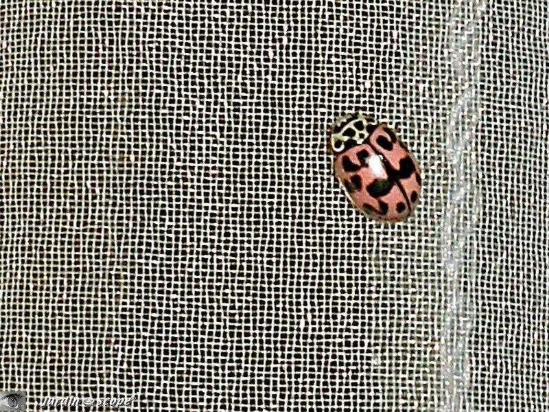 Coccinelle des feuillus • Oenopia conglobata