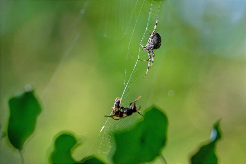 Guêpe prise toile araign 111021 ym 7 araignée