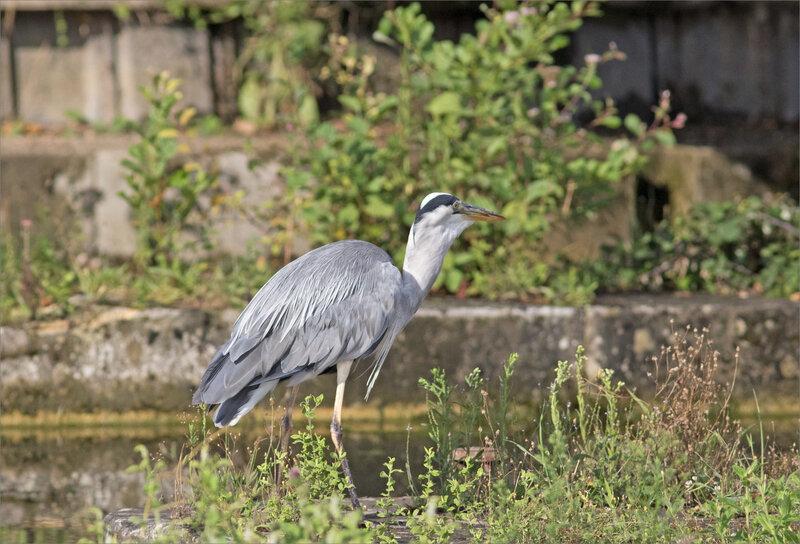 Oiseau héron pêche matin 120819 ym 13 poisson avalé