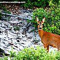 Chevrette observé en forêt des pays de monts (85)