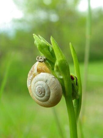 Ophrys escargot