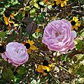 Roses du jardin