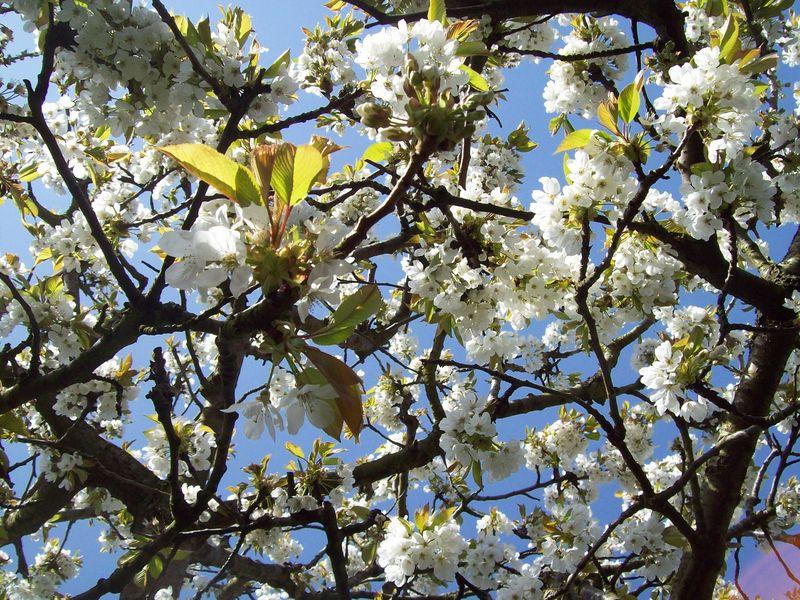 Cerisier blanc