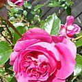 Une belle rose comme elle