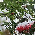 Mon colibri de martinique