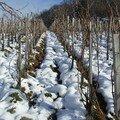 Photo 45 - Domaine Tissot, vignes du Clos de Curon