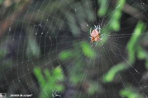 Épeire diadème • Araneus diadematus