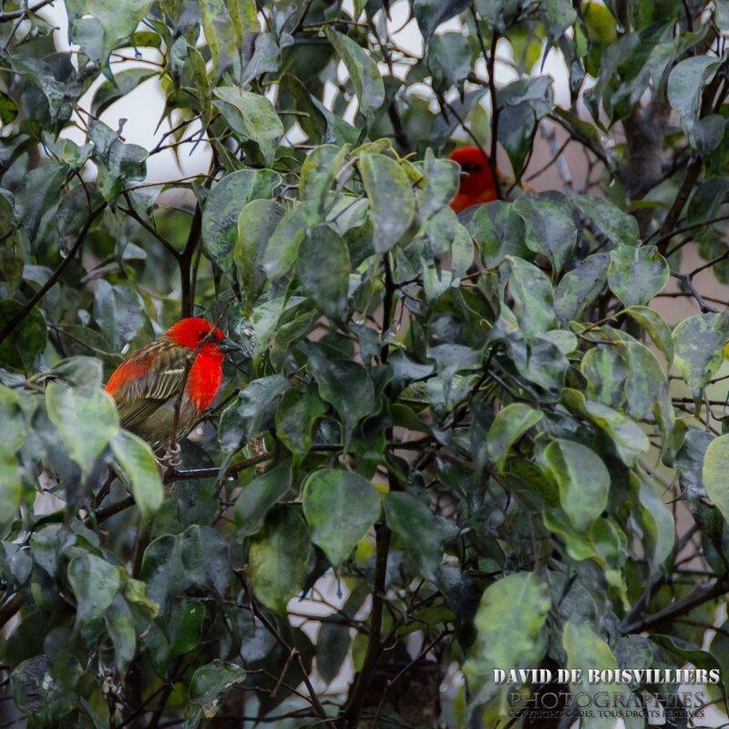 Foudi rouge (Foudia madagascariensis) - Île Maurice