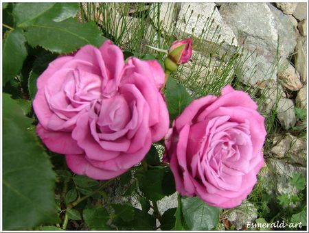 roses_mauves