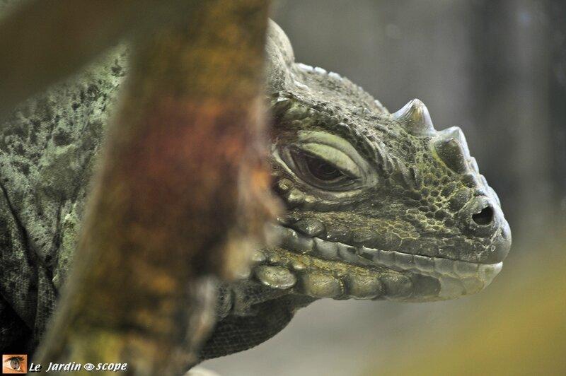 Iguane rhinocéros • Cyclura cornuta