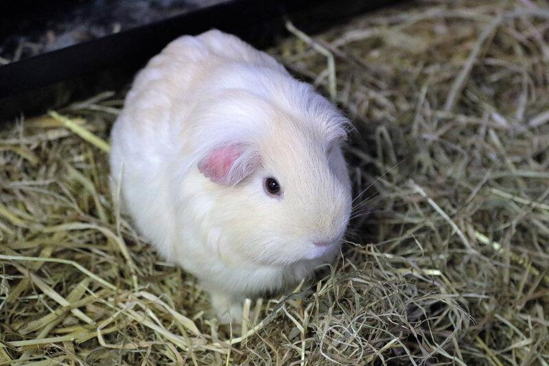cochon d inde guinea