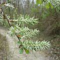 Saule (Salix sp.)