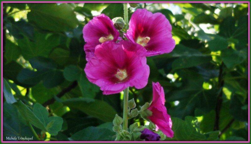 Roses trémières 2506153