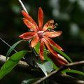 Passiflora variolata