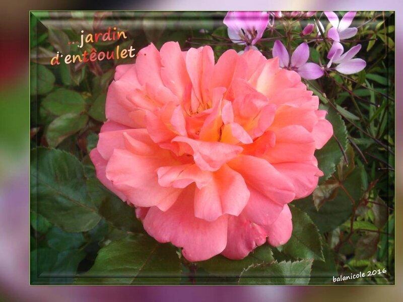 balanicole_2016_11_les nouveaux rosiers de balanicole_e comme jardin d'entêoulet_16