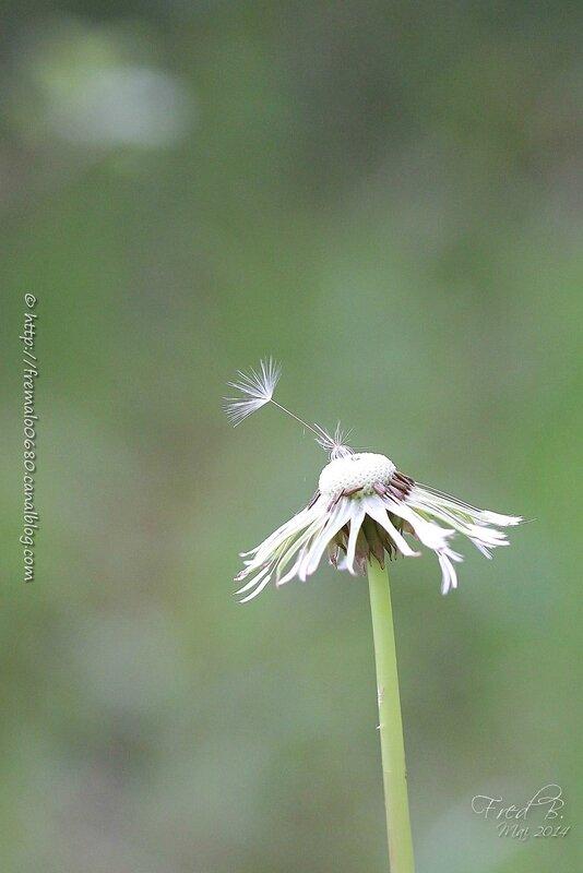 Taraxacum campylodes