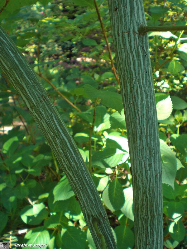 L'écorce décorative de Acer tegmentosum