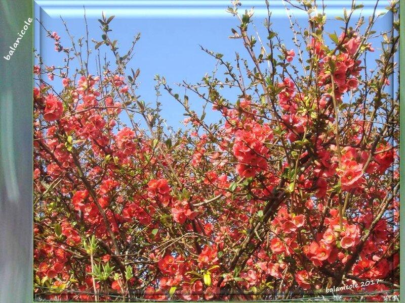 balanicole_2017_02_le printemps des arbustes_17_cognassier japonais