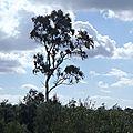 grece vers kalogria un arbre survole les oliveraies