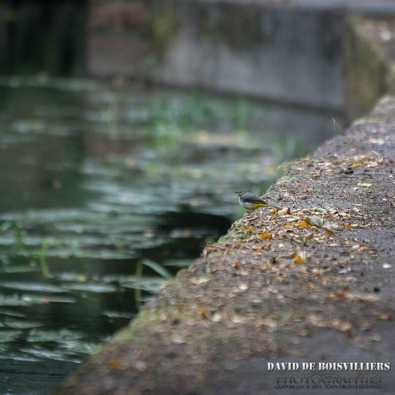 Bergeronnette des ruisseaux (Motacilla cinerea - Grey Wagtail)