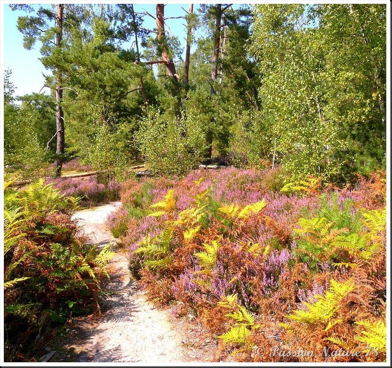 Balade dans la bruyère en forêt de Rambouillet (2)