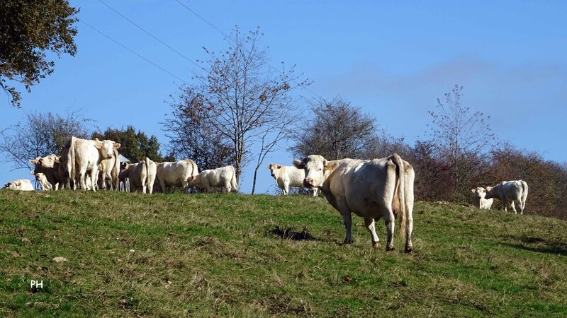 vaches-chaume