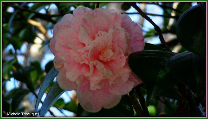 Camélia rose veiné de décembre