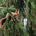 Ecureuil roux - Sciurus vulgaris (4)