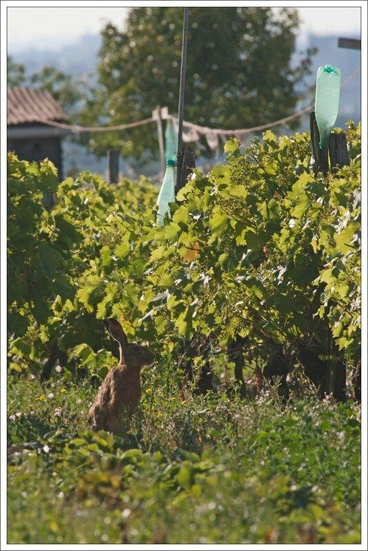plaine lievre vigne bouteilles 210614