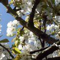 re-cerisier
