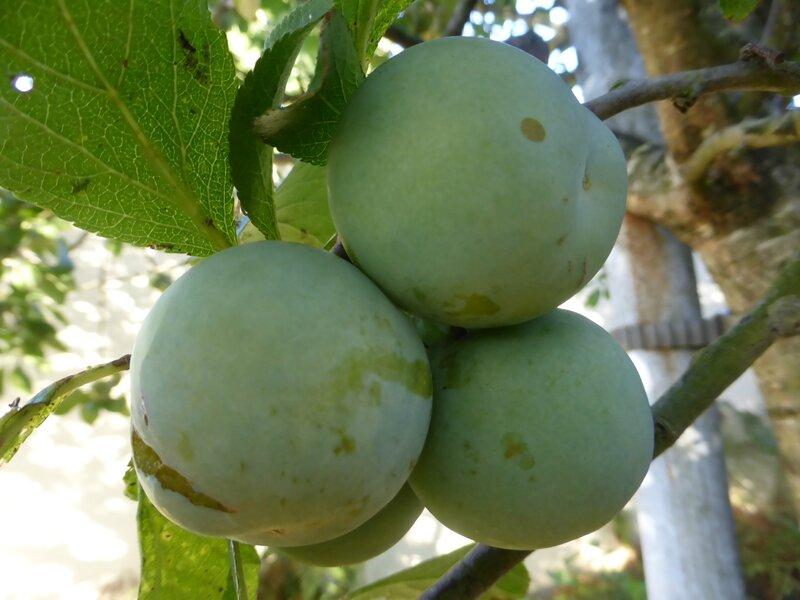 21-prunes (1)