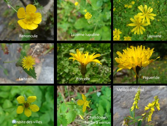 fleurs_jaunes_villard