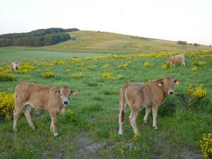 vaches_1_