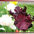 tulipes 2015_03_35