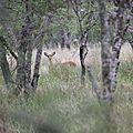 gazelle dans le parc national des lacs Abijatta et Shalla