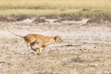 Lionne en chasse, parc d'Etosha, Namibie
