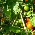 TOMATES GRAPPES OK
