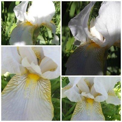 Iris mai 2017 (4)