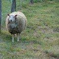 mouton zen