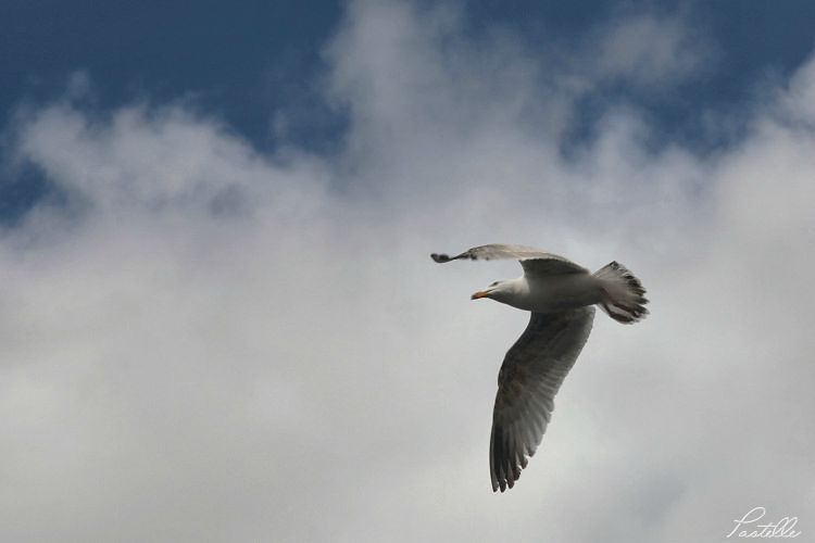 Mouette_IMG_5617